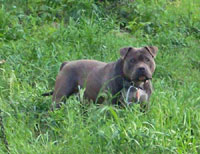 Pitfall Kennel Outkast Pitbull Ranch   Dog Breeds Picture