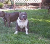 Two pure Muglestons' bulls purchased as puppies. Pictured taken at their new family's home at 11 months old.
