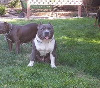 Two pure Muglestons' bulls purchased as puppies. Pictured taken at their new family's home at 1 year old