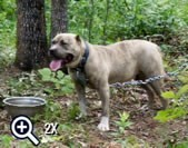 10 month old reverse blue brindle female produced by Mugleston's Pitbull  Farm