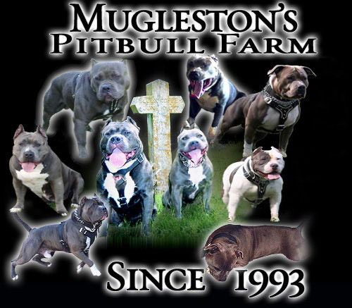 Muglestons Pitbull Farm - pitbulls for sale - pit bulls for sale
