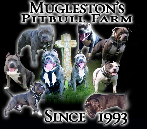 Muglestons Pitbull Farm - pitbulls for sale - pit bulls for