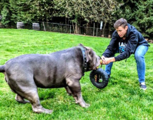 Muglestons Pitbull Farm - pitbulls for sale - pit bulls for sale